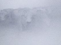 Snow Heifers